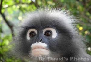 Langur-Monkey1